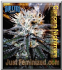 Sin City Cancer's Nightmare Fem 7 Cannabis Seeds